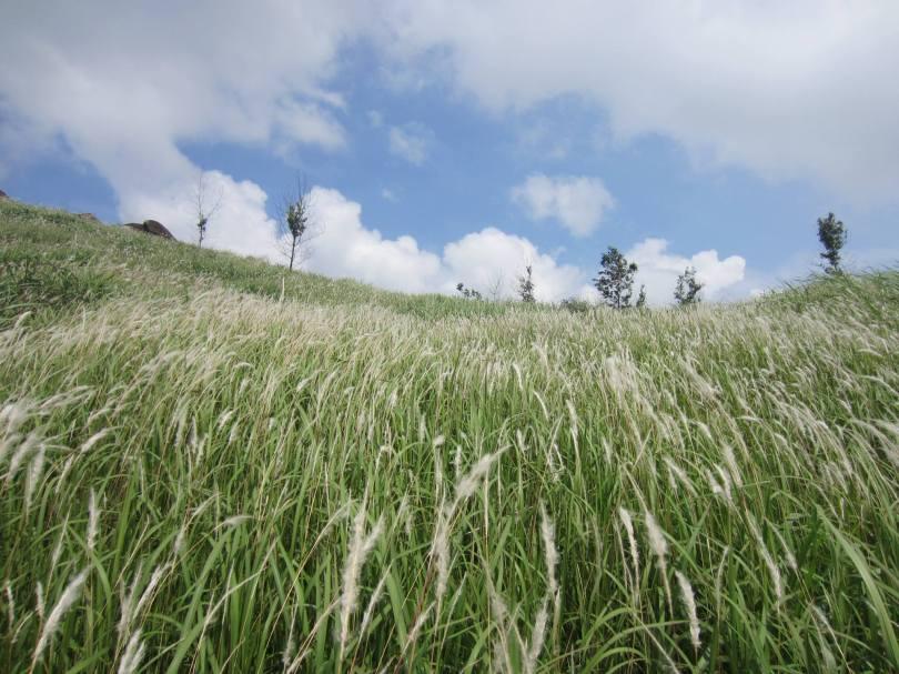 Mùa hoa cỏ tranh núi Chứa Chan